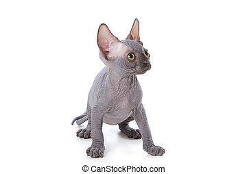 Sphynx kitten with white background