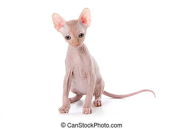 Sphynx kitten with white background