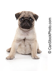 Pug puppy sitting on a white background in a studio.