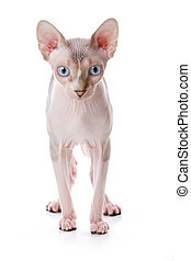 Sphynx cat with white background