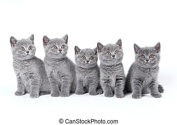 British Shorthair kittens sitting on a white background in a...