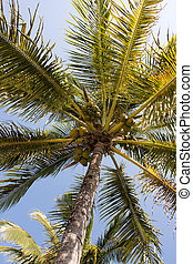 tropical palm tree with yellow coconuts in center