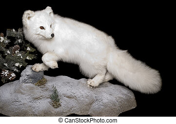 Arctic Fox in winter pelage - Taxidermy mount of an Arctic...