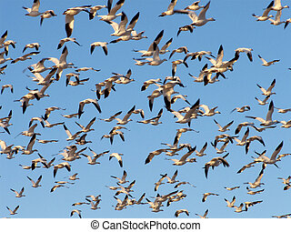 Flock Behavior - Snow geese migrating north for the Summer