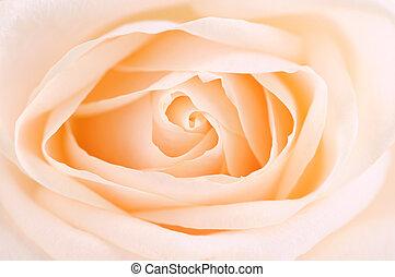 Delicate beige rose - Delicate high key beige rose macro...