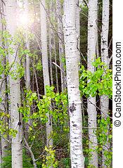Aspen grove - Natural background of aspen tree trunks in the...