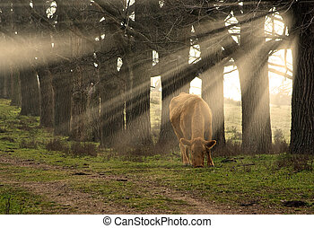 cow eating grass - a cow eats grass in the morning with sun...
