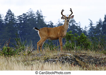 Buck Deer With Antlers - A buck black-tailed deer with a...