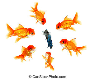 The Outsider - Lone Beta Fish Feeling The Pressue From His...