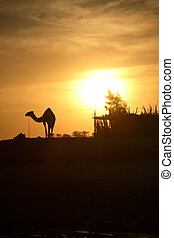 Camel in Egypt - A camel silhouette with the low Sun behind...