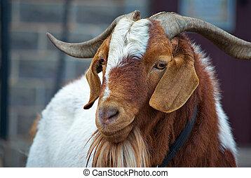 goat - close up of an unfriendly big horned goat