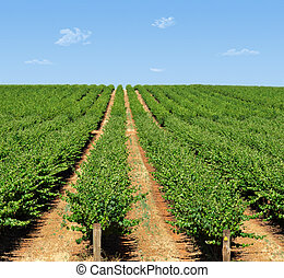 grape vines - rows of grape vines reaching out over the...