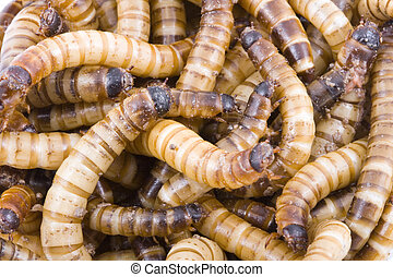 Superworms - a detail of a group of Zophobas Morio