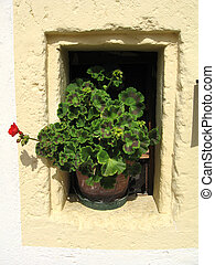 geranium on small window - pot in small window