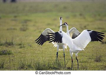 Whooping Cranes - A pair of Whooping Cranes doing the mating...