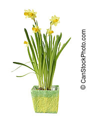Daffodil flower in pot