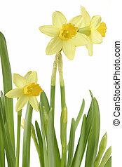 Daffodil - daffodil flower