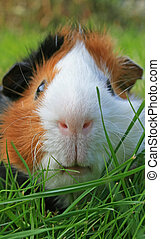 Guinea Pig Face - A Portrait from a Guinea Pig Face
