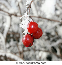 frosted berries - winter lays frost on wild berries