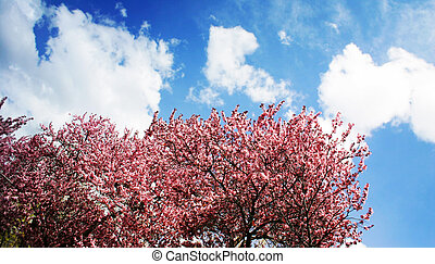 pink blossoms and blue sky - pink blossom trees against blue...