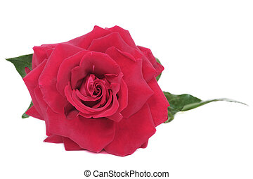 Beautiful red rose - Beautiful deep red rose on white...