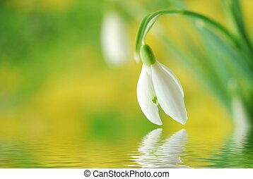 colorful snowdrop - Close-up of white snowdrop against green...