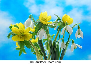 snowdrop and winter aconite - Group of winter snowdrop and a...