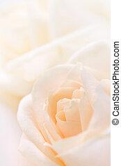 Delicate beige roses - Delicate high key beige roses macro...