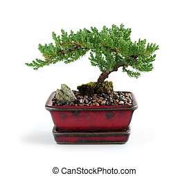 Bonsai tree in ceramic pot on white background