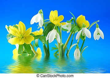 snowdrops and winter aconite - Group of winter snowdrop and...