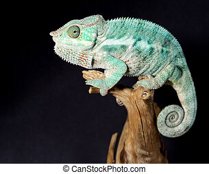colorido, macho, camaleón