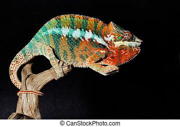 macho, colorido, camaleón