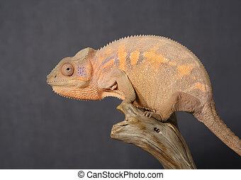 Panthera, colorido, hembra, camaleón