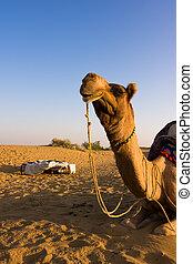 Camel in Thar desert - Camel on safari - Thar desert,...