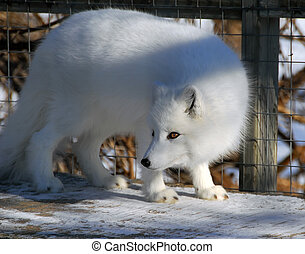 Arctic Fox - Close picture of an Arctic Fox in cage