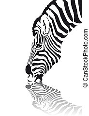 Zebra - Abstract vector of an african zebra drinking water