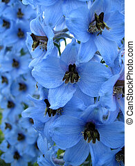 Delphinium flowers - Close-up picture of Delphinium flowers