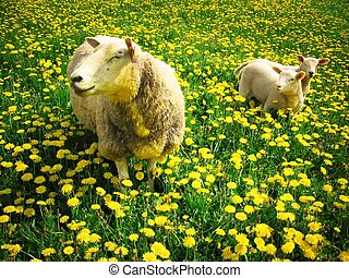 Sheeps and lambs - Sheep with her two lambs