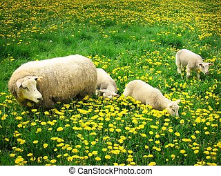 Sheeps and lambs - Sheep with lambs
