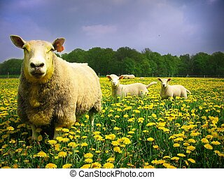 Sheeps and lambs - Sheep with her lambs