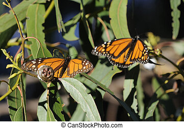 Monarch butterflies - Pair of male Monarch butterflies n a...