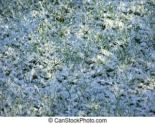 grass in snow - Close-up of fresh green straws with snow and...