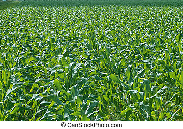 New Corn Field - A newly planted field of corn