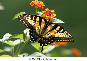 Lantana Tiger - A vibrant and powerful shot of a Tiger...