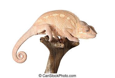 Panthera, colorido, camaleón