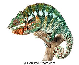 coloridos, macho, camaleão