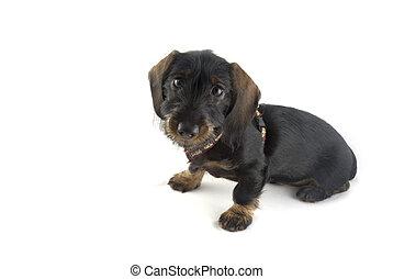 Dachshund - dachshund as a Little puppy
