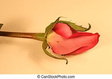 rosa, germoglio