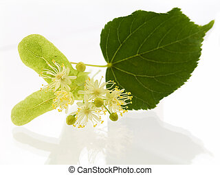 lime - Branch and fruits of lime blossom isolated in a white...