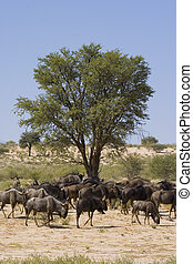 Wildebeest Lunchtime - Herd of black wildebeest feeding in...